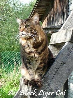 Ais Black Liger Cat