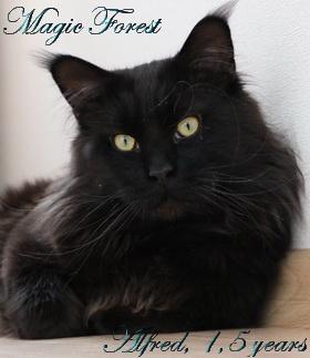 Кот мейн-кун Magic Forest Alfred