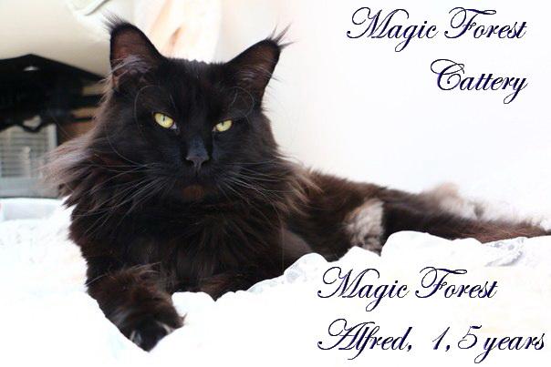 Кот мейн-кун Magic Forest Alfred, 1,5 года