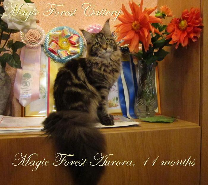Кошка мейн кун Magic Forest Aurora