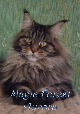Кошка мейн-кун Magic Forest Aurora