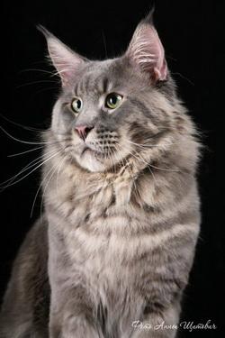 кот мейн-кун Bajuncat's Tuman