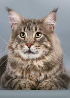 кот мейн-кун Bajuncat's Voevoda Moroz