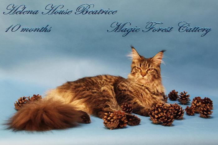 кошка мейн-кун Helena House Beatrice