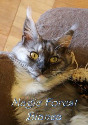 Кошка мейнкун Magic Forest Bianca