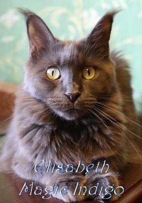 Кошка Мейнкун Elisabeth Magic Indigo