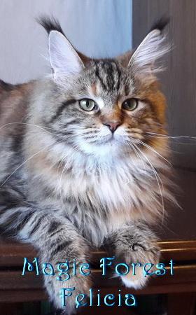 Кошка мейн-кун Magic Forest Felicia