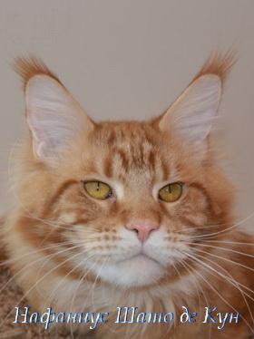 кот мейн-кун Нафаниус Шато де Кун